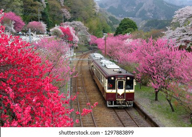Retro cars of a local train arriving at Godo Station of Watarase Keikoku Railroad with pink & red blossom trees blooming vibrantly along the railway tracks by the mountainside in Midori, Gunma, Japan