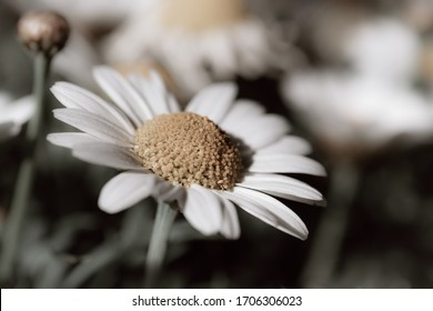 A retro daisy in a beautiful soft background