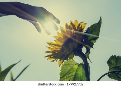 Retro image of sunburst over a sunflower with a hand reaching forwards to touch it in a conceptual image of nature, agriculture and natural beauty.