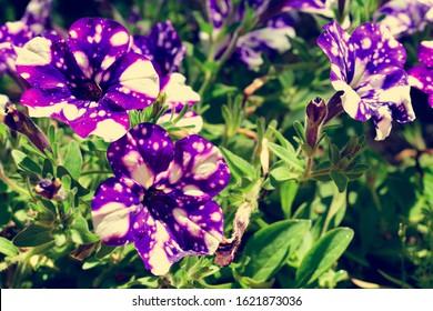Retro style image of Night sky petunia flowers - Shutterstock ID 1621873036