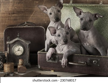 Retro styled portrait of Mexican xoloitzcuintle puppies