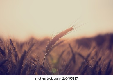 Retro vintage style image of a wheat field at sunrise with ears of ripening wheat back lit by the sun with copyspace over the sky in an agricultural and nature background concept.