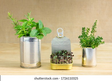 Reused tin cans containing herbs and growing salad greens, save money grow your own food at home,  zero waste, recycle, sustainable living concept.