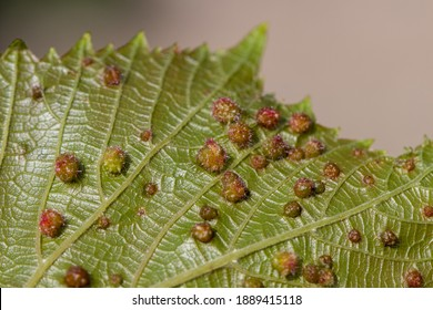 The reverse side of a grape leaf is completely affected by the galas of Grape phylloxera (Latin Dactylosphaera vitifoliae), close-up