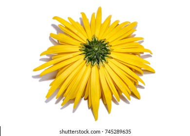 The reverse side of a yellow chrysanthemum flower on a white background