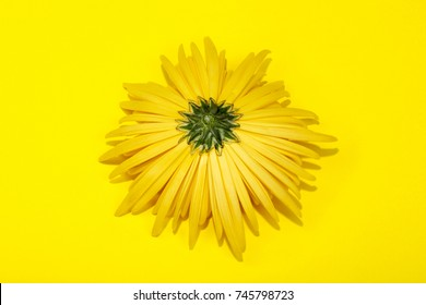 The reverse side of the yellow chrysanthemum flower on a yellow background