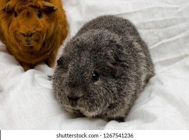 rex guinea pig (silver agouti)