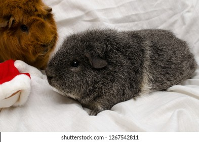 rex guinea pig (silver agouti) with buddy at christmas