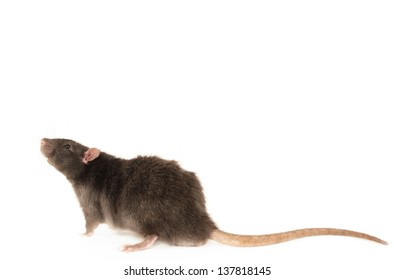 Rex rat isolated in front of white background.