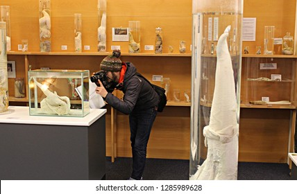 Reykjavik, Icelandic Phallological Museum - December 5, 2013: young man photographing the preserved penis of a minke whale displayed in glass container with formaldehyde. Mammals penises in background