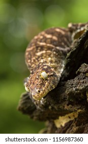 Rhacodactylus leachianus, commonly known as the New Caledonian giant gecko or Leach's giant gecko, is a large species of gecko, first described by Georges Cuvier, which is endemic to New Caledonia