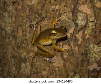 Rhacophorus flying frog, Cuc Phuong National Park, Vietnam