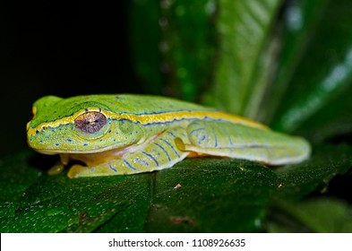 Rhacophorus lateralis  or Boulengers Tree Frog is an endangered species of rhacophorid tree frog endemic to the Western Ghats in South India.