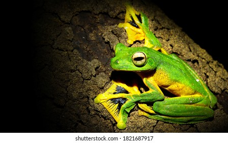 Rhacophorus nigropalmatus (Wallace's Tree Frog) clinging to the bark is prepared to jump. The green frog (Wallace's flying frog) is spreading the chart. At its beautiful black paws.