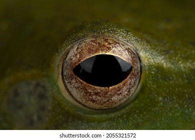 Rhacophorus prominanus or the Malayan Tree Frog eye closeup. The Malayan Flying Frog or Zhangixalus prominanus eye closeup.