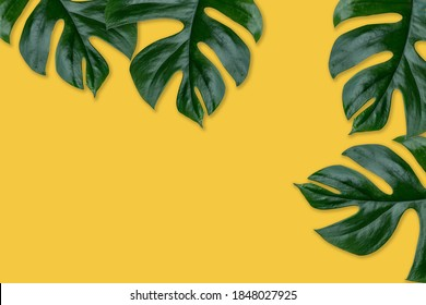 Rhaphidophora Tetrasperma, Mini monstera, Ginny philodendron leaf plant yellow color background.Concept for nature plant decorate frame and copy space for your text