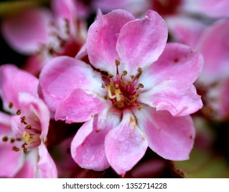 Rhaphiolepis indica, Indian hawthorn, Hong Kong hawthorn, evergreen shrub often grown as hedge plant, with pink flowers in flat-topped clusters and small edible fruits.