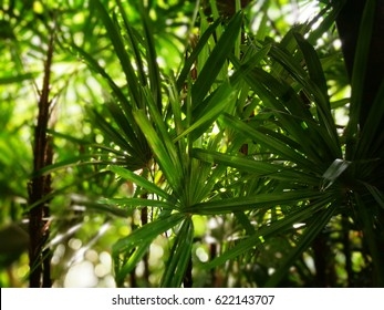 Rhapis excelsa, broadleaf lady palm fresh nature background