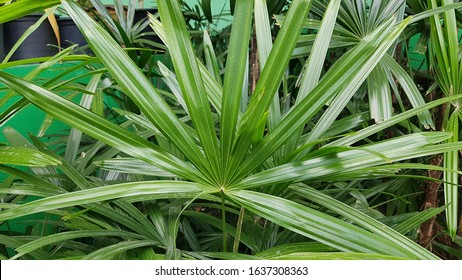 Rhapis excelsa, also known as broadleaf lady palm or bamboo palm, is a species of fan palm (Arecaceae subfamily Coryphoideae, tribe Trachycarpeae) in the genus Rhapis,