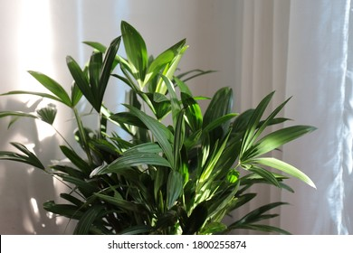 Rhapis excelsa, also known as broadleaf lady palm or bamboo palm. Decorative lady palm by the window with white curtain. Good Indoor plants.