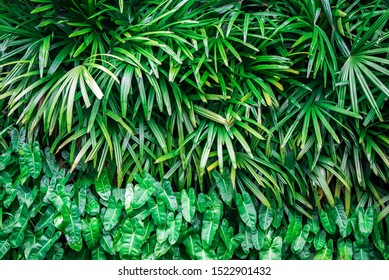 Rhapis excelsa, Lady palm in the garden, green plantation,summer background. Tropical Leaves Background The bright green leaves are shaped like small spikes. Ornamental plants.