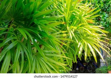 rhapis excelsa laos lady palm tropical plants