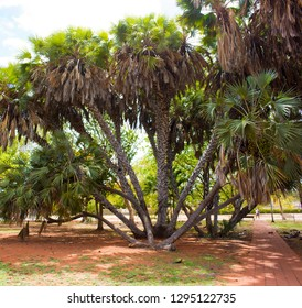 Rhapis humilis, or Slender Lady Palm, is native to China, been cultivated for centuries and are very easy to grow forming bamboo-like clumps  growing in Broome Courthouse gardens, Western Australia.