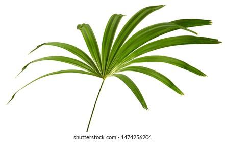 Rhapis laosensis foliage(Thailand lady palm) tropical leaf isolated on white background.
