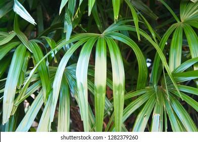 Rhapis palm or broadleaf lady palm or bamboo palm green leaves