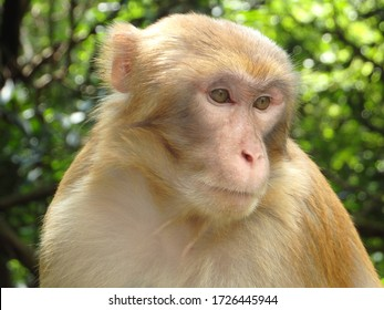 Rhesus macaque in a forested area of Hong Kong