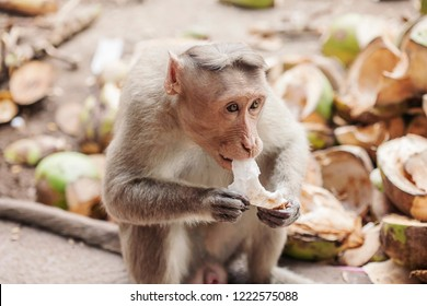 Rhesus Macaque little monkey eating coconut close to Arunachala ashram at Tiruvannamalai, Tamil Nadu, India