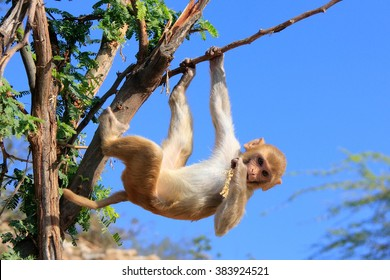 Rhesus macaque (Macaca mulatta) climbing tree near Galta Temple in Jaipur, India. The temple is famous for large troop of monkeys who live here.