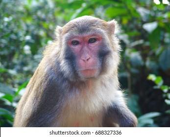 Rhesus Macaque (macaca mulatta) monkey