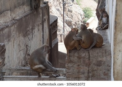 Rhesus macaque ( Macaca mulatta ) monkeys at the Galtaji temple complex, Jaipur, Rajasthan, India