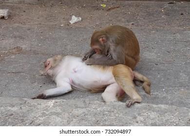 Rhesus macaque ( Macaca mulatta ) monkeys grooming, Galtaji temple complex, Jaipur, Rajasthan, India
