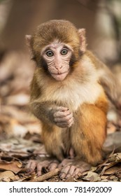 The Rhesus Macaque Macaca mulatta, is one of the best-known species of Old World monkeys.  Rhesus Macaques inhabit a great variety of habitats from grasslands to arid and forested areas.