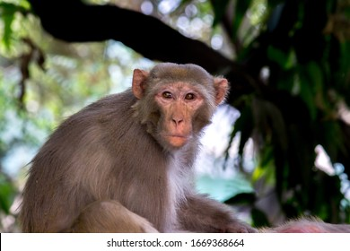 The Rhesus Macaque Monkey sleeping on the tree in its natural habitat.