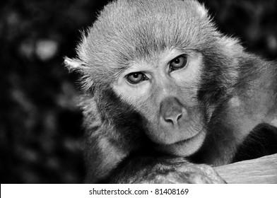 Rhesus macaque monkey at temple in Bhaktapur, portrait photo, Kathmandu valley, Nepal. B&W photo.
