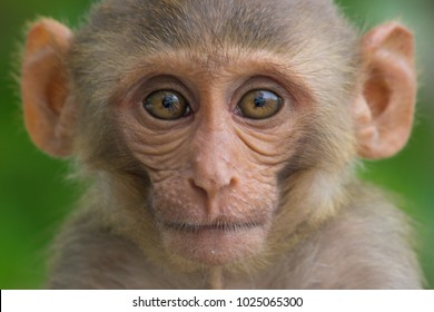 Rhesus macaques are familiar brown primates with red faces and rears. They have close-cropped hair on their heads, which accentuates their very expressive faces.