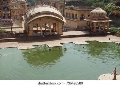 Rhesus macaques ( Macaca mulatta ) drinking from the temple tank pool, Galtaji temple complex, Jaipur, Rajasthan, India