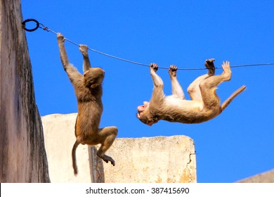 Rhesus macaques (Macaca mulatta) playing on a wire near Galta Temple in Jaipur, India. The temple is famous for large troop of monkeys who live here.