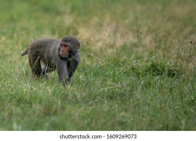 Rhesus Macaques up to a variet of mischeif in the grass