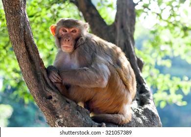 Rhesus makaque monkey at Pashupatinath Temple, Nepal
