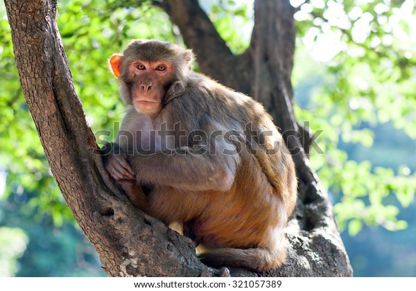 Rhesus makaque monkey at Pashupatinath Temple, Nepal