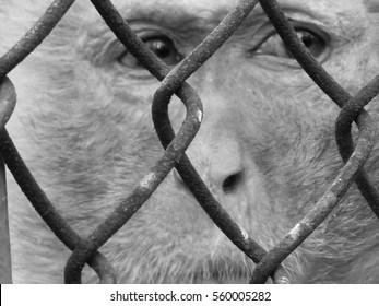 Rhesus monkey eyes