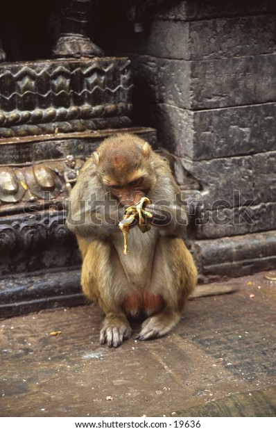 Rhesus monkey with stolen banana