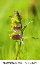 Rhinanthus. The blossoming plant in Siberia