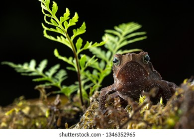 Rhinella margaritifera a macro of a small tropical rain forest toad living in the Amazon jungel of Colombia