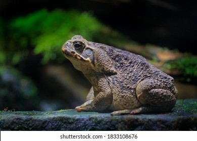 Rhinella marina, Cane toad, big frog from Costa Rica. Face portrait of large amphibian in the nature habitat. Animal in the tropic forest. Wildlife scene from nature.
