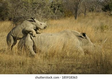 Rhino Ambition